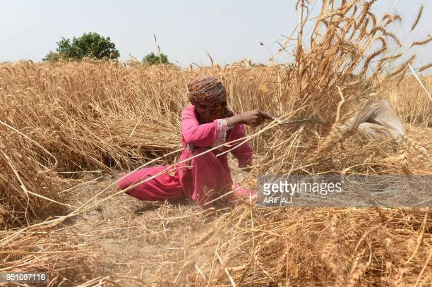 Pakistani farmer harvests wheat in a field on the outskirts of Lahore on April 25 2018