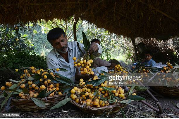 Pakistani farmer shows his collected loquat The loquat is a species of flowering plant in the family Rosaceaean ancient fruit grown in Japan for the...