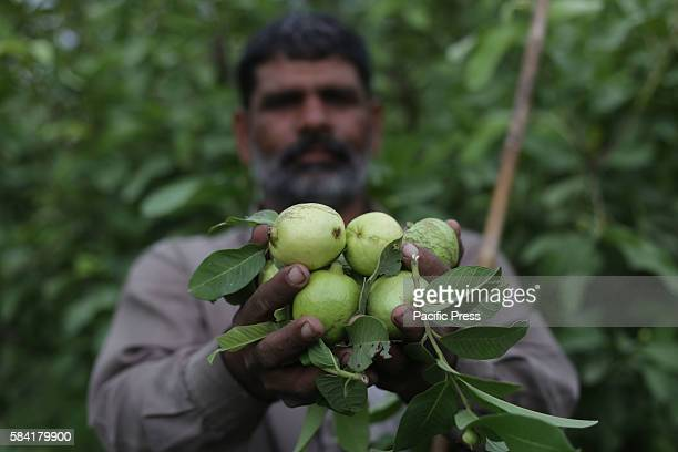 Pakistani farmers busy in guava fruits fields in a suburb of Lahore Guava is one of the popular fruits of the Punjab Pakistan In Pakistan guava was...
