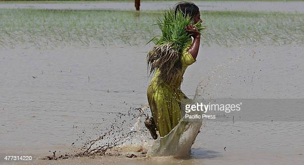 Pakistani farmers busy in sapling the rice for paddy nursery of rice plants from a field for re-plantation in a traditional way in subarea Lahore. A...