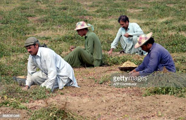 Pakistani farmers harvest peanuts in a field on the outskirt of Peshawar on October 30 2017 / AFP PHOTO / ABDUL MAJEED