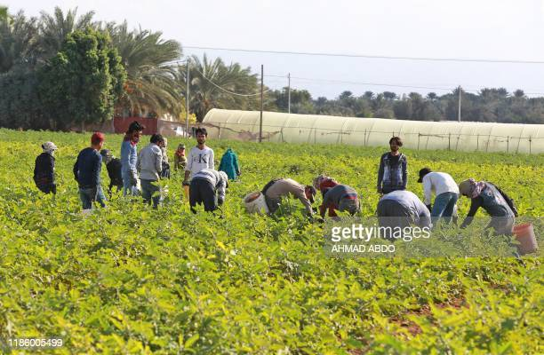 Pakistani farmers work on a farm in the town of Shuna in Jordan some 50 kilometres southwest of the capital Amman on December 2 2019 Thirteen...
