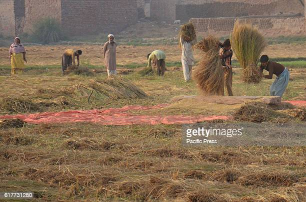 Pakistani farmersare working in a rice field after threshing amber rice during a harvest at a field on the outskirts of Lahore.