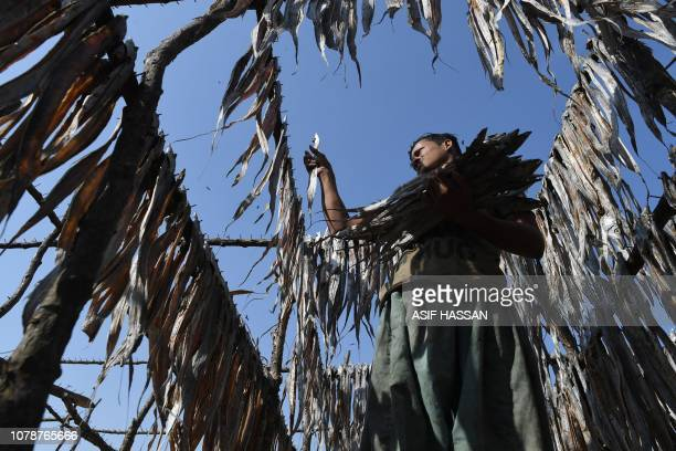Pakistani fisherman Bashir Ahmed collects dry fish after being hanged from poles at a fishing village in the port city of Karachi on January 7 2019