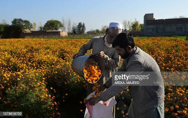 Pakistani labourers harvest marigold flowers in a field on the outskirts of Peshawar on December 15 2018