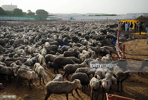 Pakistani labourers take care of infected sheep at a farm in Bin Qaisim town some 50 kilometres southwest of Karachi on September 17 2012 Pakistan...