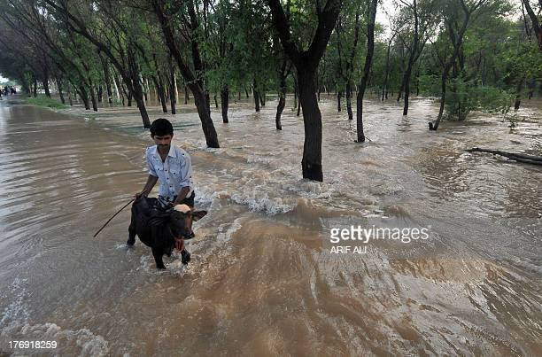 A Pakistani man crosses a flooded street with a young buffalo in Muridke area near Lahore on August 19 2013 Heavy monsoon rains have triggered floods...