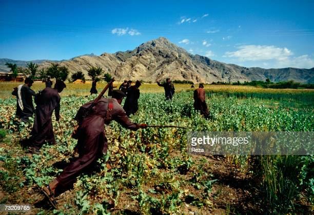 Pakistani militia destroy an opium poppy field on April in the Pashtun tribal zone of Mohmand on the Pakistan side of the border The area has grown...
