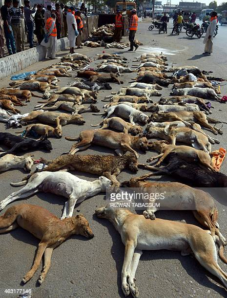 Pakistani municipal workers prepare to dispose of a pile of dog carcasses in a suburb of Karachi on February 11, 2015. The city municipality has...
