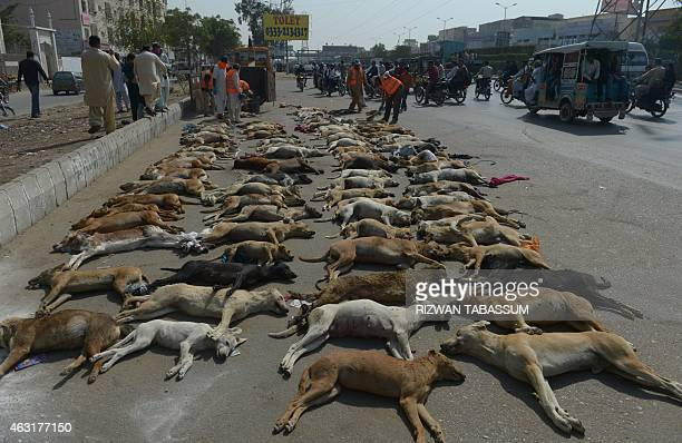 Pakistani municipal workers prepare to dispose of a pile of dog carcasses in a suburb of Karachi on February 11 2015 The city municipality has...