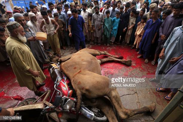Pakistani Muslims slaughter a camel after Eid alAdha prayers in Peshawar on August 22 2018 Muslims across the world are celebrating the annual...