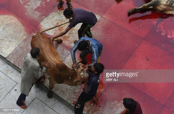 TOPSHOT Pakistani Muslims slaughter a cow after Eid alAdha prayers in Lahore on August 22 2018 Muslims across the world are celebrating the annual...