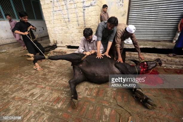 Pakistani Muslims slaughter a cow after Eid alAdha prayers in Peshawar on August 22 2018 Muslims across the world are celebrating the annual festival...