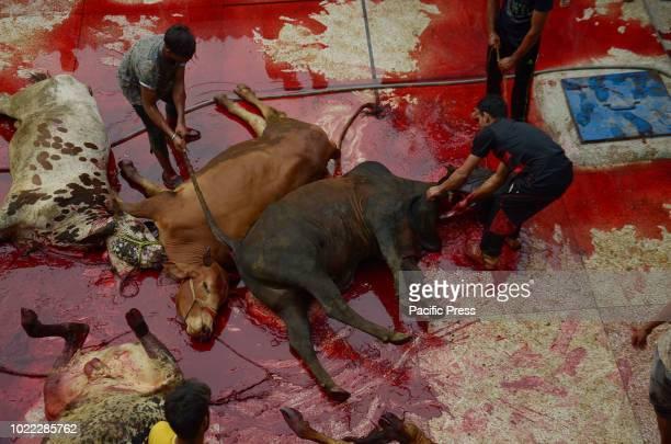 Pakistani Muslims slaughtering cows on Eid alAdha at Jamia Naeemia mosque