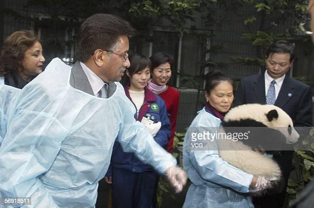 Pakistani President Pervez Musharraf and his wife Sehba look at a panda at Chengdu giant panda breeding center on February 23 in Chengdu Sichuan...