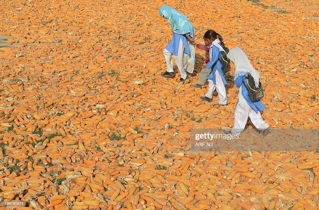 Pakistani schoolchildren walk over corn following the execution of Ajmal Kasab, who was hanged in an Indian prison, at Kasab's village in Farid kot, some 370 kilometres (230 miles) southeast of the Pakistani capital Islamabad on November 21, 2012. Farmers in the village of the Pakistani gunman executed Wednesday for the 2008 Mumbai massacre lashed out at India and hounded out journalists who asked about their notorious son. AFP PHOTO/Arif ALI