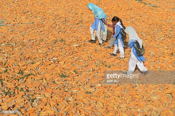 Pakistani schoolchildren walk over corn following the execution of Ajmal Kasab who was hanged in an Indian prison at Kasab's village in Farid kot...