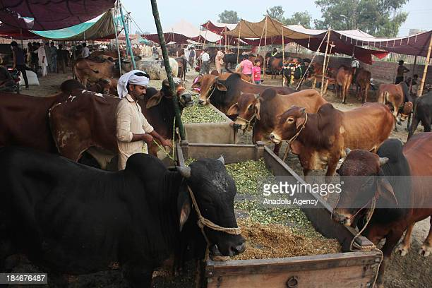 Pakistani seller feeds bulls at a cattle market set for the upcoming Muslim sacrificial festival Eid alAdha on October 02 2013 in Lahore Pakistan Eid...