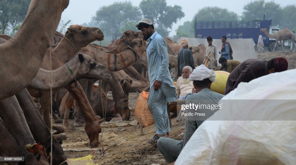 Pakistani vendors display sacrificial animals in an animal market setup for the upcoming Eid ulAdha Muslims around the world will celebrate `Eid...