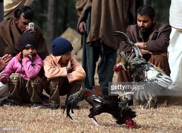 Pakistanis watch a cockfight in Kotli Sattian 50 kilometers north of Islamabad Pakistan on January 13 2014 Cockfight a popular game in rural Pakistan...