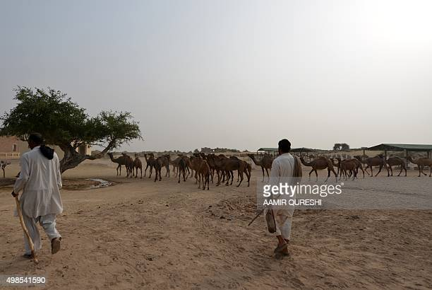 Pakistan-Military-Camels, FEATURE by Nasir JAFFRY In this photograph taken on November 13 handlers of Pakistan Desert Rangers, control camels near a...