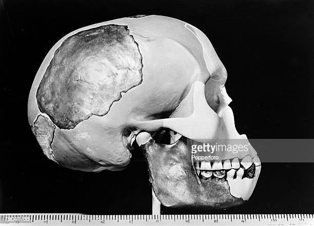 circa 1950 The reconstructed skull of 'Piltdown Man' The skull and other relics were found by amateur palaeontologist Charles Dawson in Piltdown...
