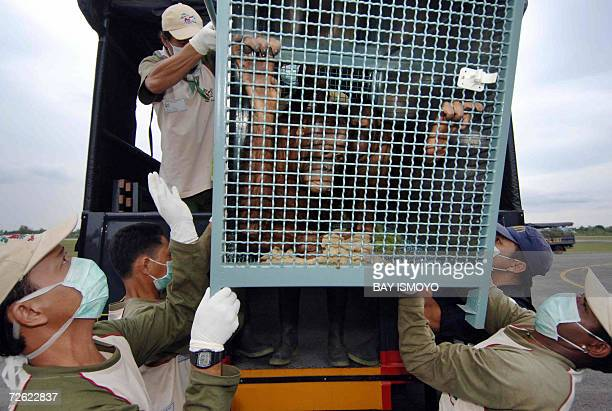 Indonesian officials unload the Orangutans after their arrival in Kalimantan 22 November 2006 from Thailand Indonesian wildlife experts flew 48...