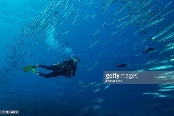 palau-micronesia - barracuda foto e immagini stock