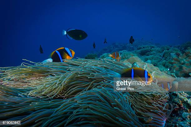 palau - micronesia - orange fin clownfish stock photos and pictures