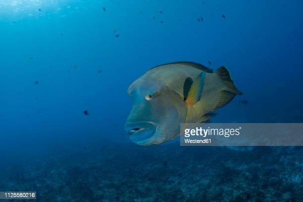palau, napoleon fish, cheilinus undulatus - メガネモチノウオ ストックフォトと画像