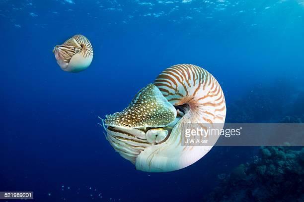 Palau Nautiluses -Nautilus belauensis-, Palau