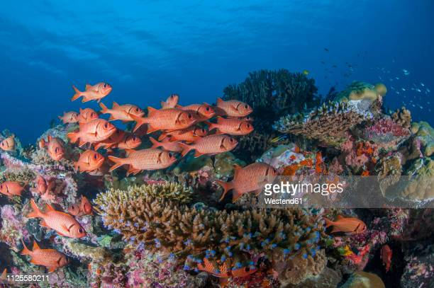 palau, squirrel fishes, ostichthys trachypoma - squirrel fish stock photos and pictures