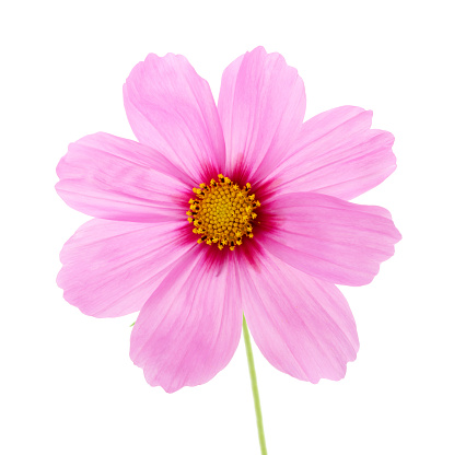 Pale & bright pink cosmos flower on white. - gettyimageskorea