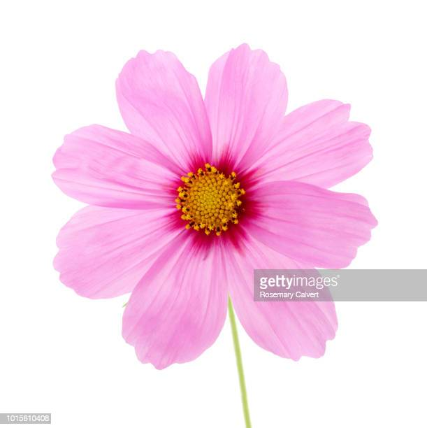 pale & bright pink cosmos flower on white. - cosmos flower stock pictures, royalty-free photos & images