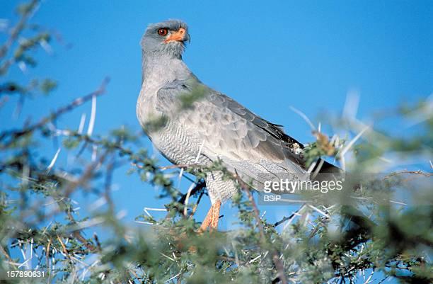 Pale Chanting Goshawk Male Pale Chanting Goshawk Picture Taken In Etosha National Park In NamibiaMelierax Canorus Pale Chanting Goshawk Goshawk...
