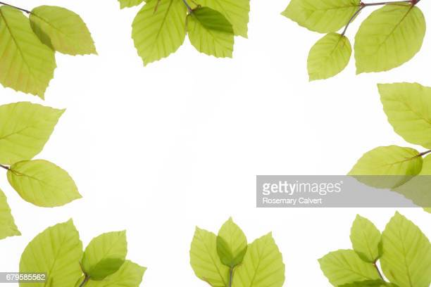 pale green spring beech leaves border white copy space. - border stock pictures, royalty-free photos & images