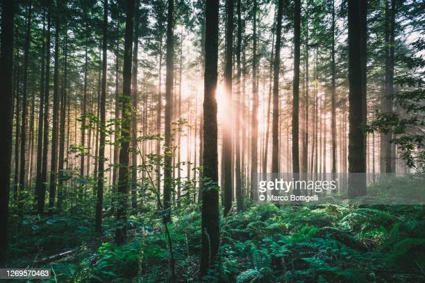 pale light breaking through the fog in a forest - sustainability stock pictures, royalty-free photos & images