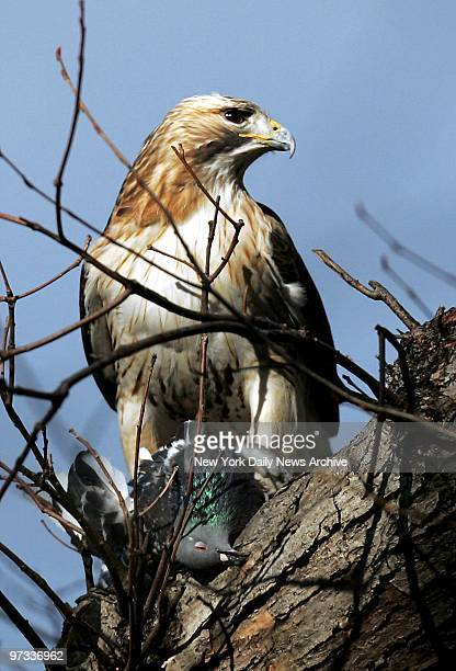 Pale Male a redtailed hawk guards his lunch a pigeon in a Central Park tree Pale Male and his mate Lola were made homeless when residents of a Fifth...