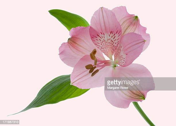 pale pink alstroemeria - alstroemeria stock pictures, royalty-free photos & images