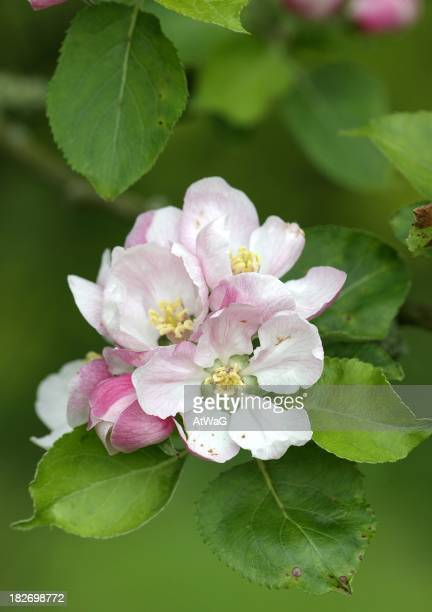 Pale pink apple blossom with green leaves