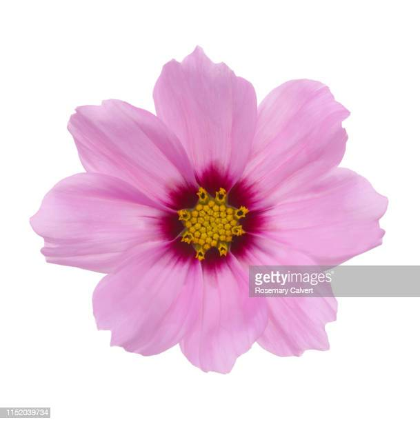 pale pink cosmos flower with darker centre on white. - silhouette stock pictures, royalty-free photos & images