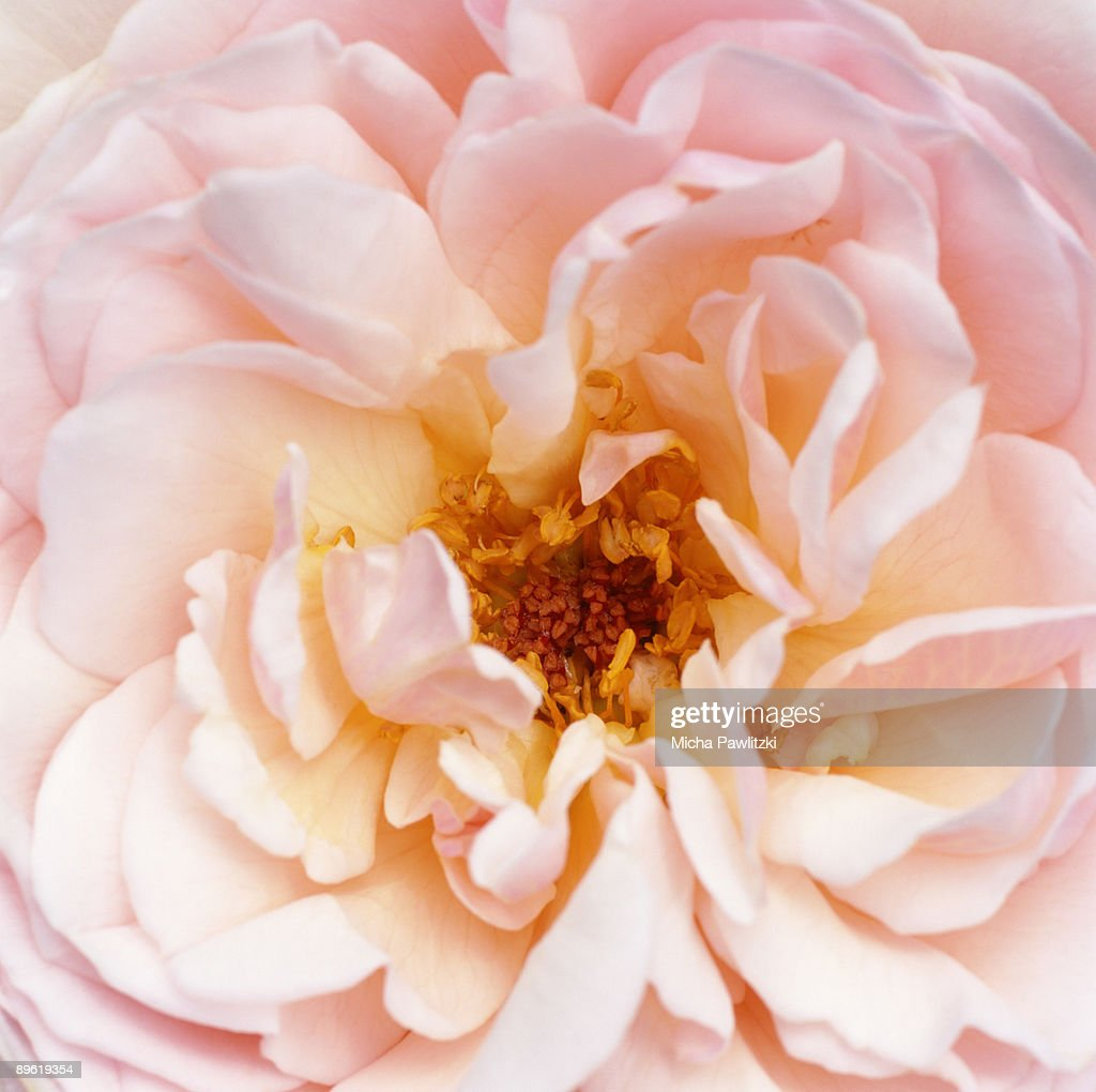 Pale Pink Flower Petals Stock Photo Getty Images