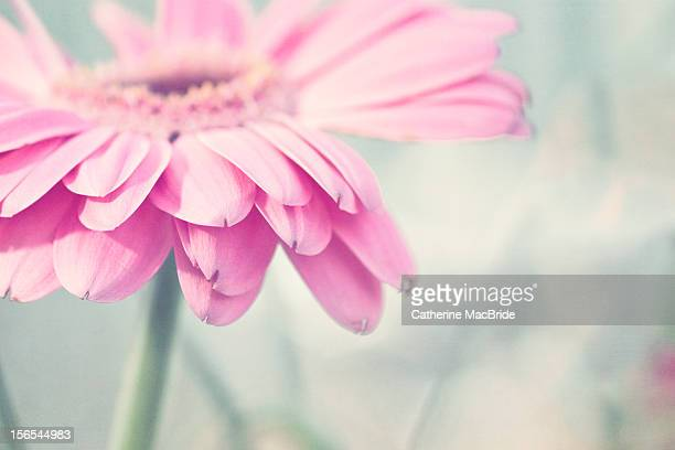 pale pink gerbera flower - catherine macbride stock pictures, royalty-free photos & images