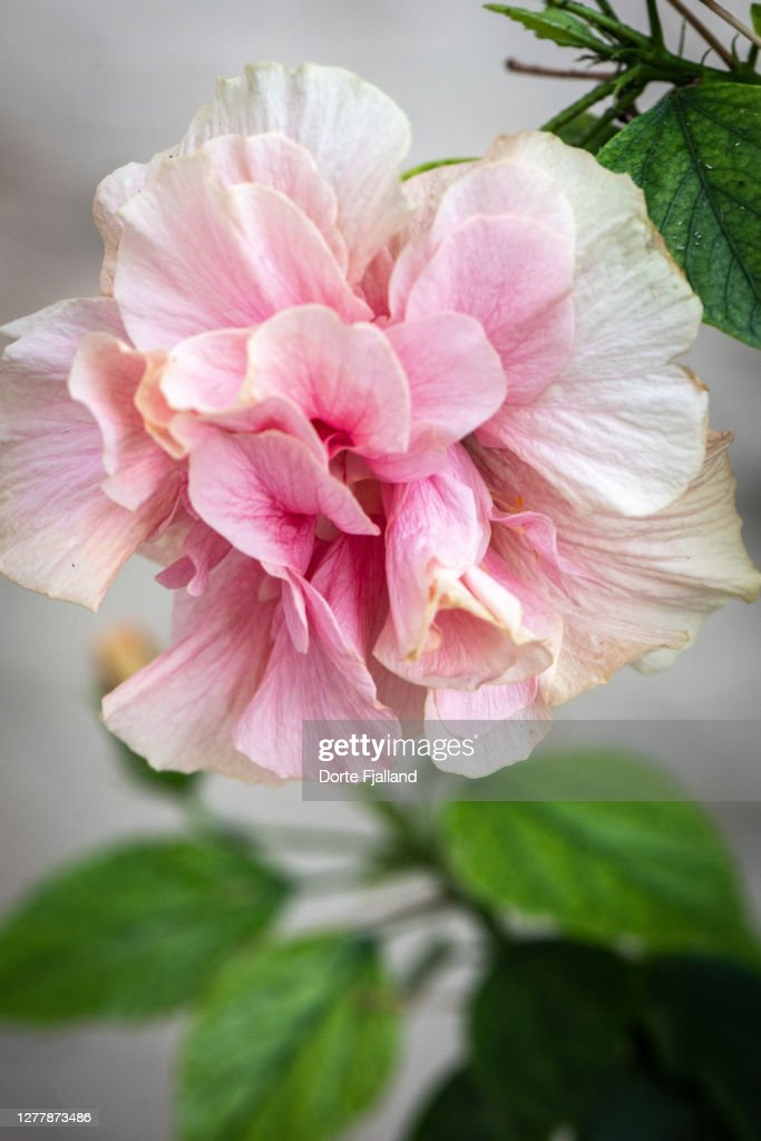 Pale pink hibiscus close up with a few green leaves around : Foto de stock