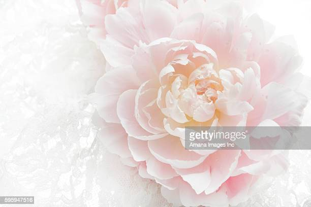 Pale pink peony, with water drops on petal