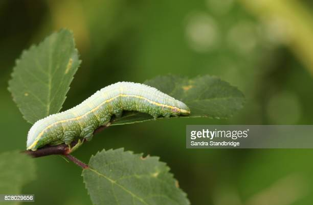 A Pale Prominent Caterpillar (Pterostoma palpina) perched and feeding on a leaf.