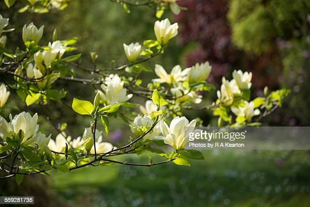 Pale yellow Magnolia in a spring garden
