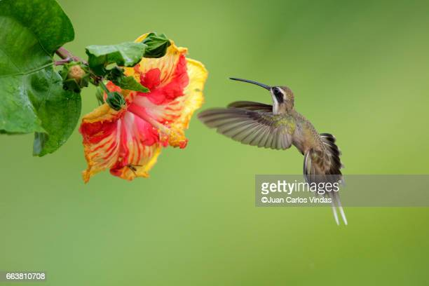 Pale-bellied hermit (Phaethornis anthophilus)
