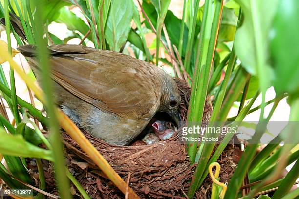 Pale-breasted Thrush feeding chicks in the nest