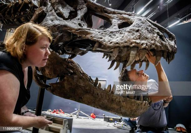 Paleontologist Naturalis Anne Schulp takes part in the construction of the skeleton of the Tyrannosaurus Rex called Trix in Naturalis in Leiden The...
